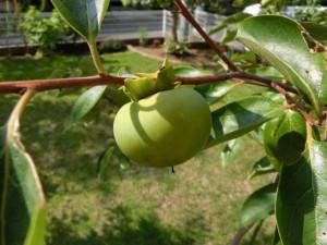 8月の富有柿