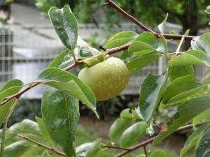 雨の日の柿
