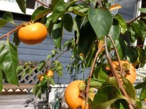 10月の柿