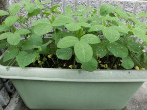 枝豆二週間